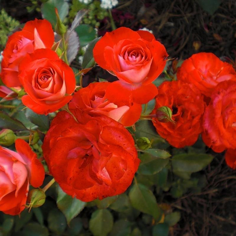 Розы Плантен ан Блумен