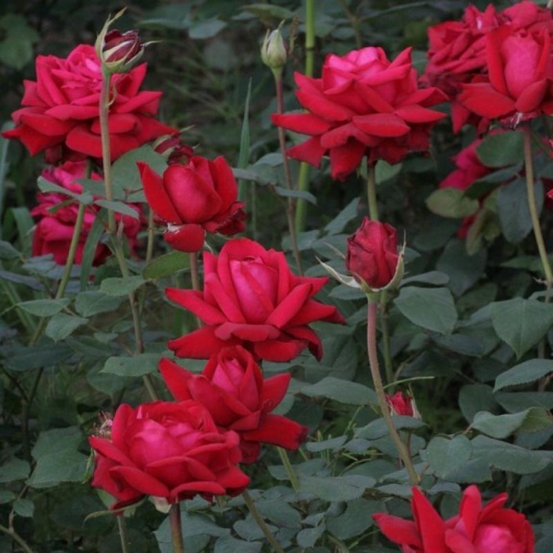 roses ingrid bergman types and varieties roses ingrid. Black Bedroom Furniture Sets. Home Design Ideas