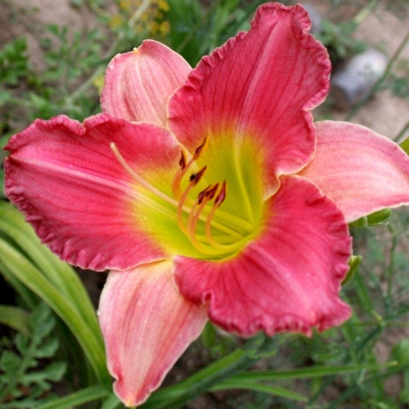 Daylily Final Touch