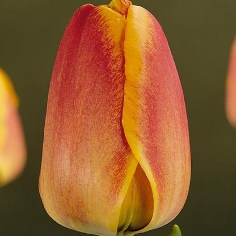 Тюльпаны Сюрпрайз