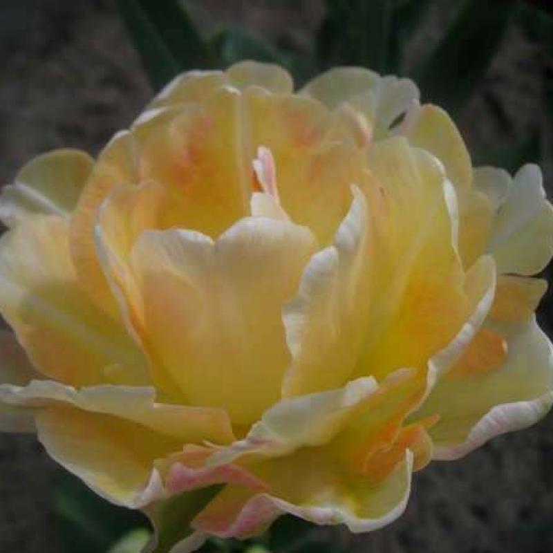Тюльпаны Шарминг Леди