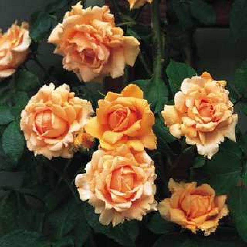 Розы Брес оф Лайф