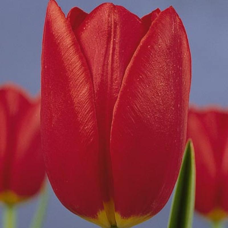 Тюльпаны Мисс Холланд