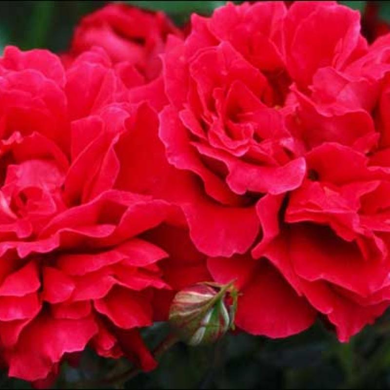 Розы Кримсон Флоршоу