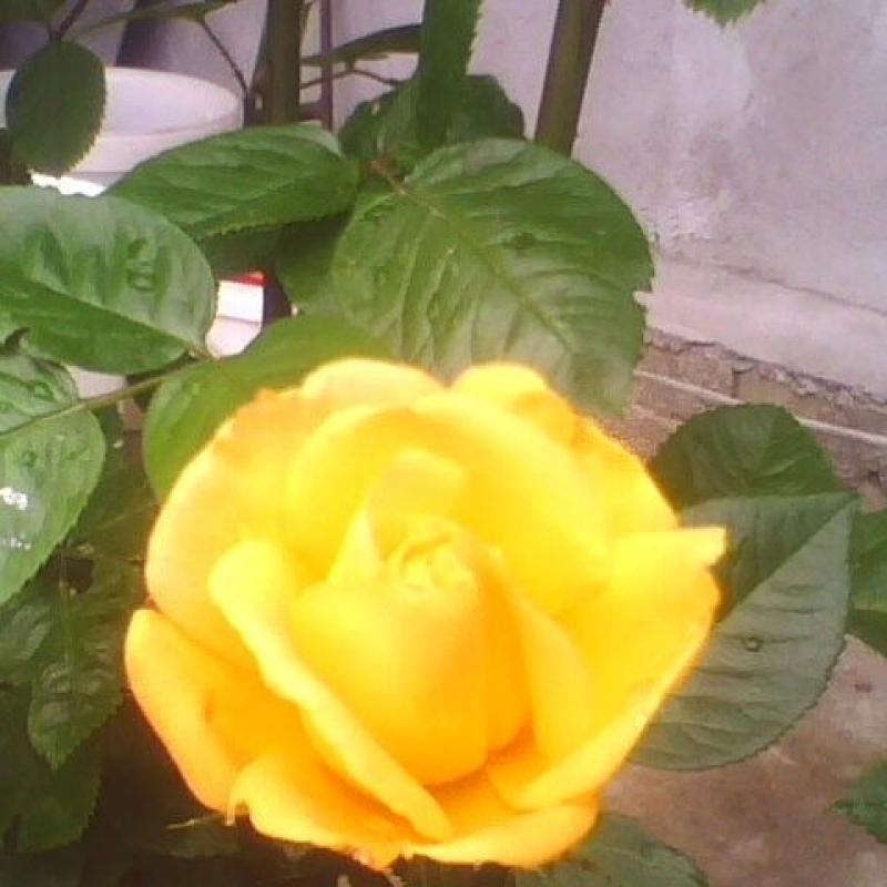 Розы Голд Риф