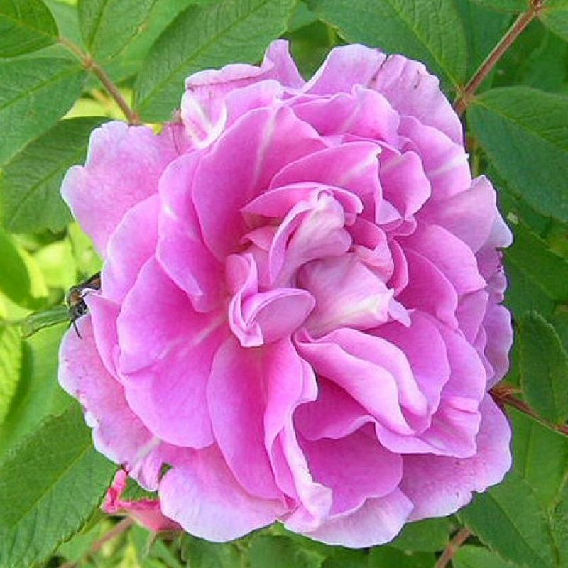 Розы Терези