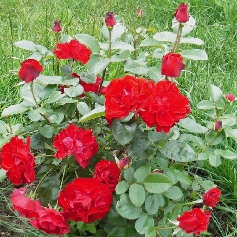 Розы Кримсон Меидиланд