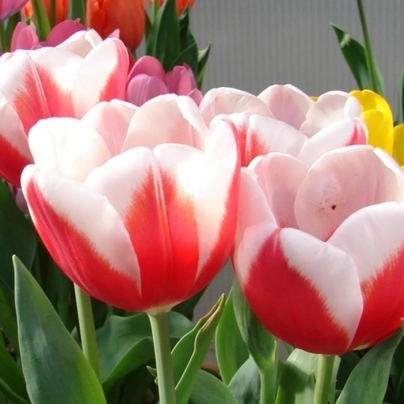 Тюльпаны Аспен