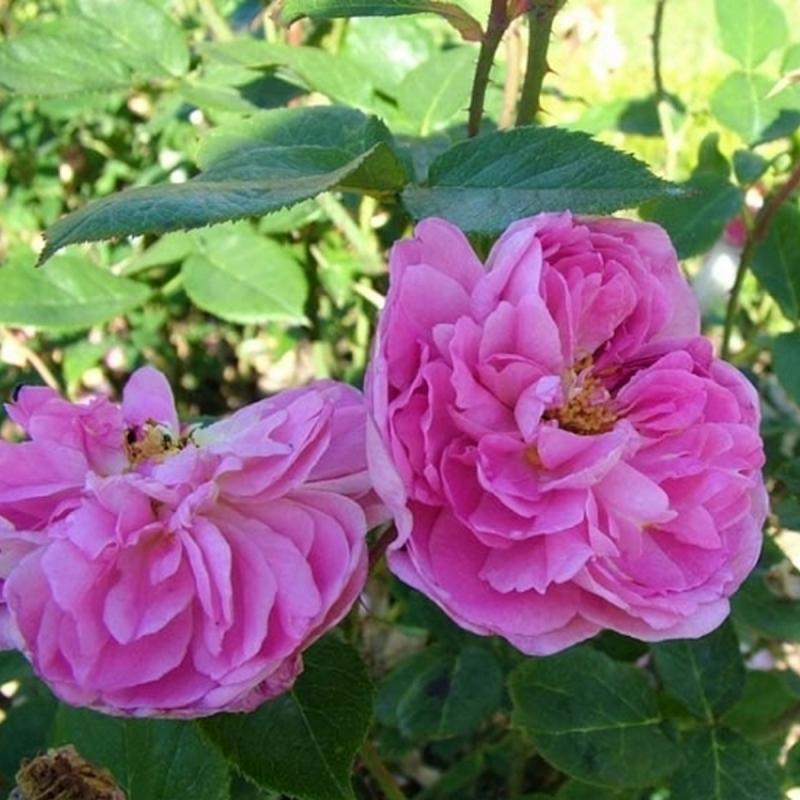 Розы Портмеирион