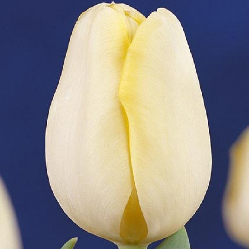 Тюльпаны Синаеда Финн