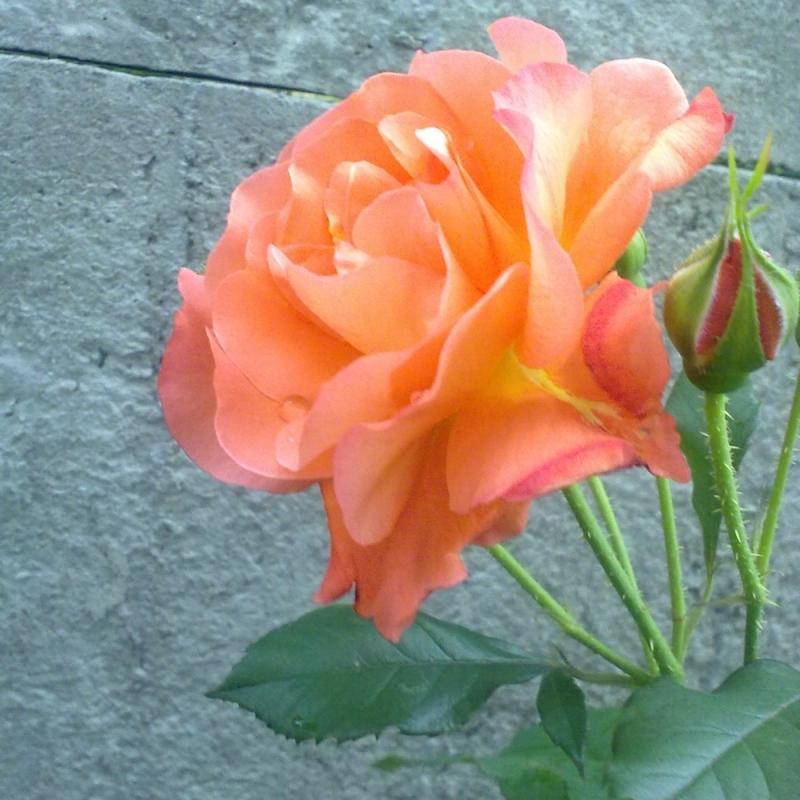 Розы Метаноя