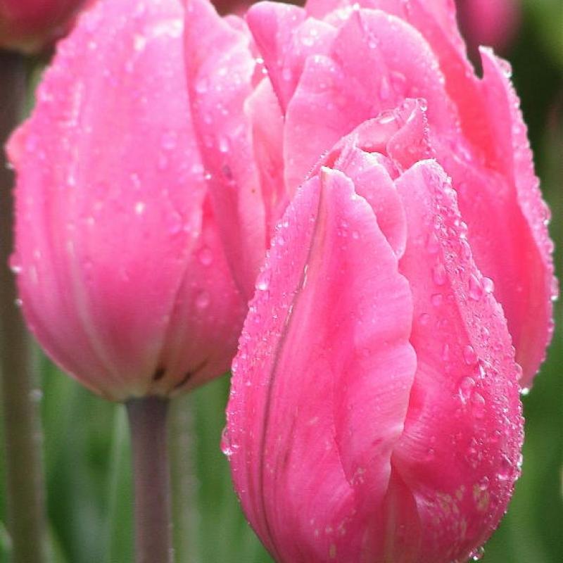 Тюльпаны Пинк Пэроди