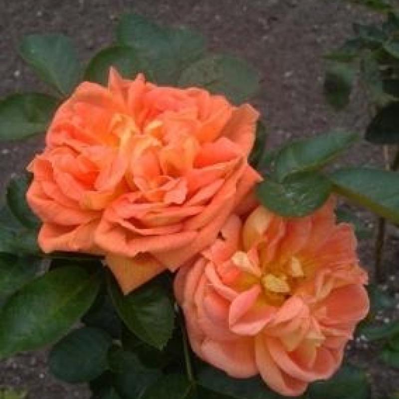 Розы Солеил де Ор