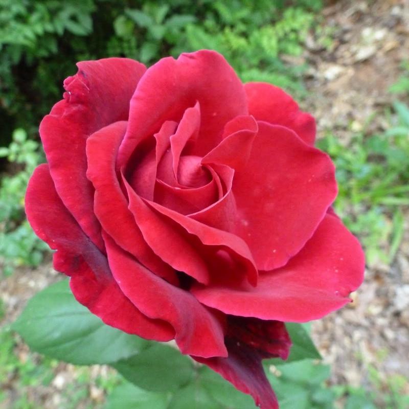 Розы Уандерфул Ньюс