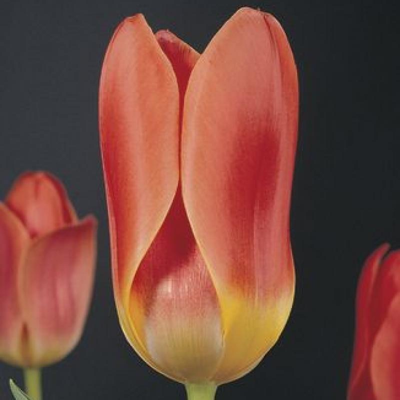 Тюльпаны Дримбот