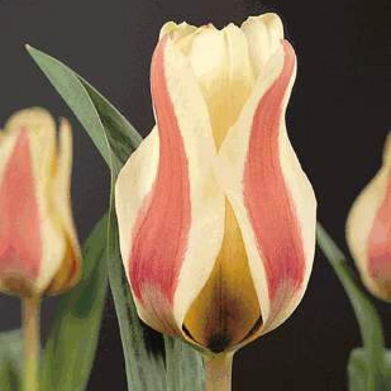 Тюльпаны Романс