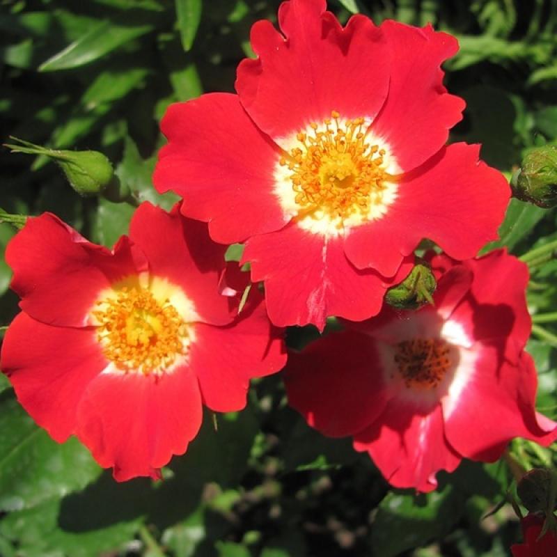 Розы Ай Пэинт