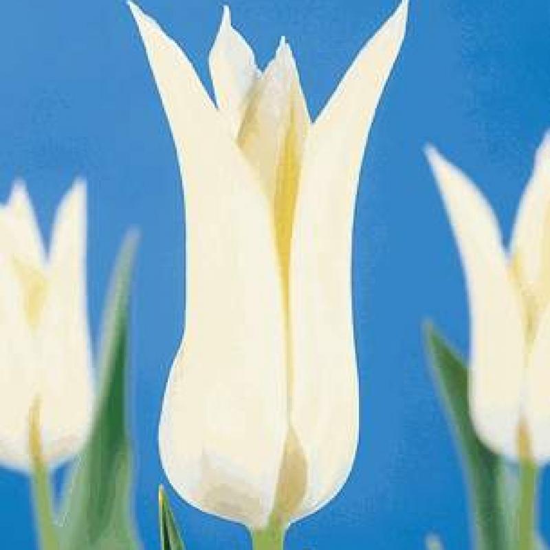 Тюльпаны Уайт Уингс