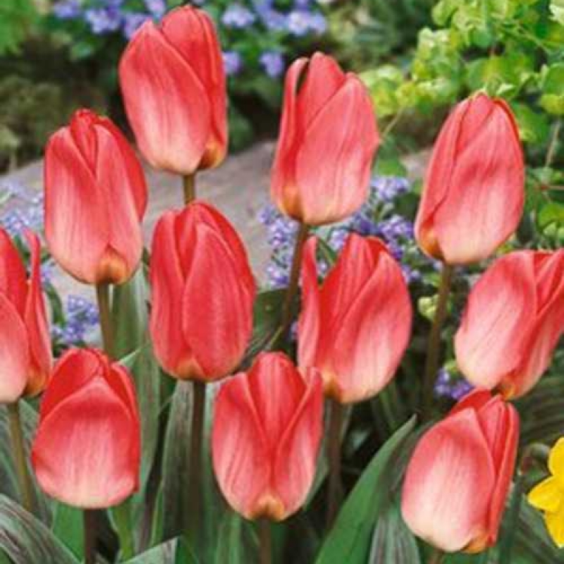 Тюльпаны Суит Леди