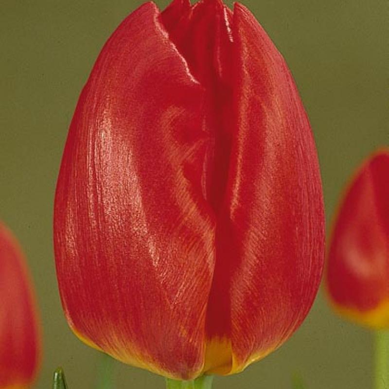 Тюльпаны Бенни Нейман