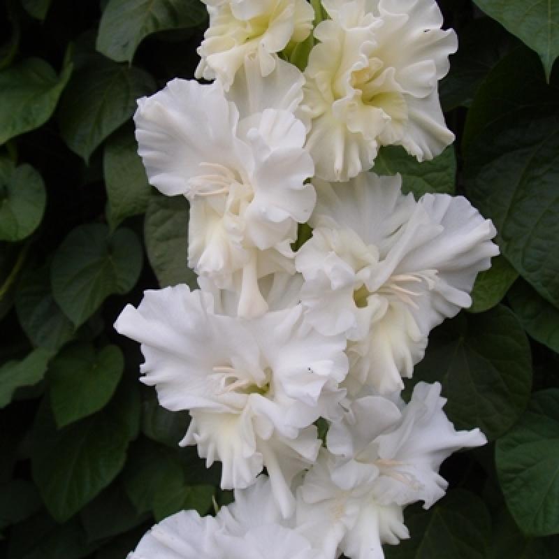 Гладиолусы Белый Парус