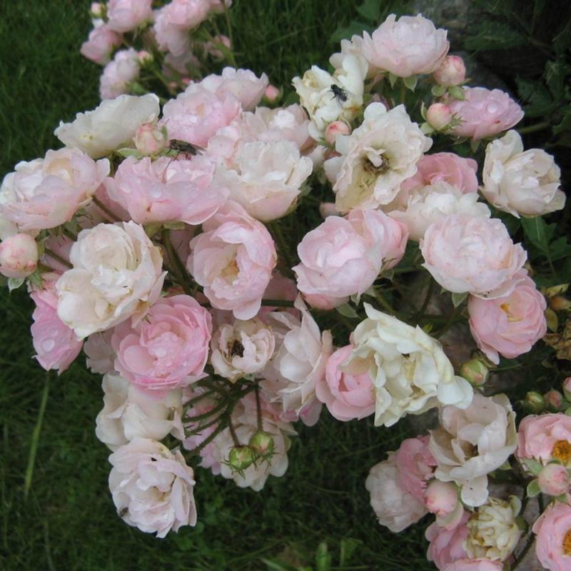 Розы Перл Ангевин