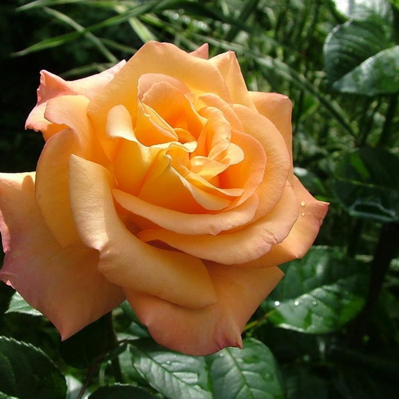Розы Австралиан Голд