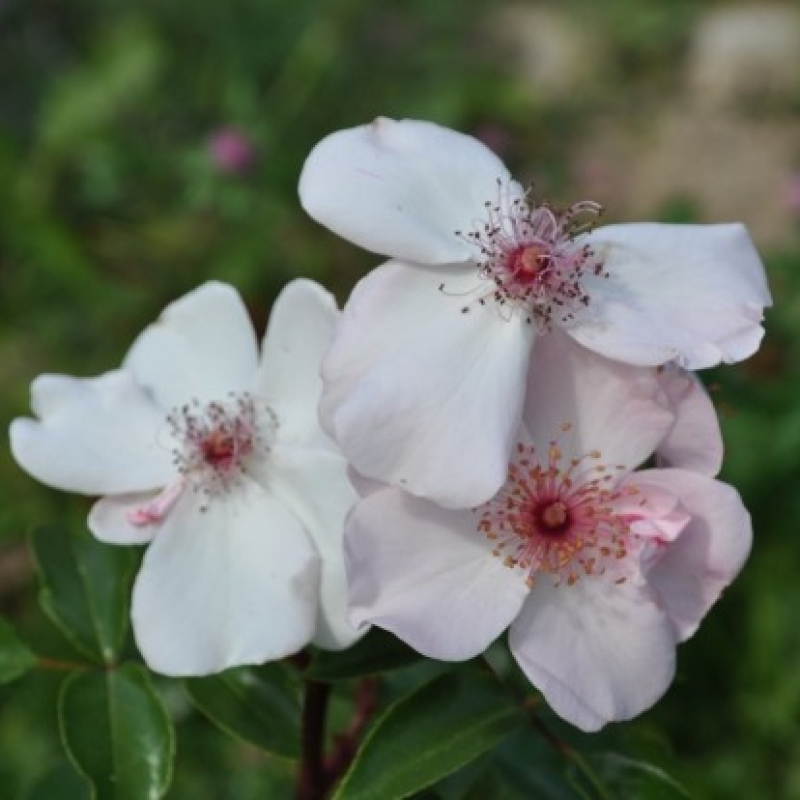 Розы Астрономия
