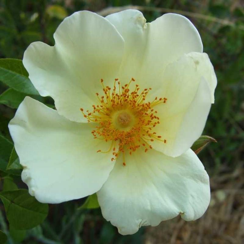 Розы Мермэйд