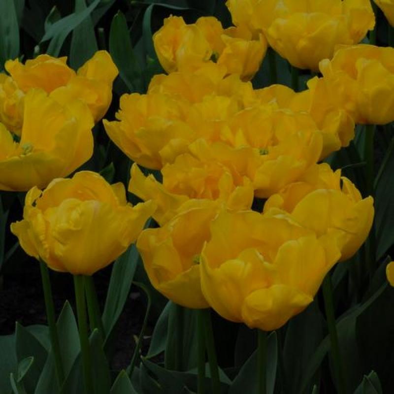 Тюльпаны Гиронде