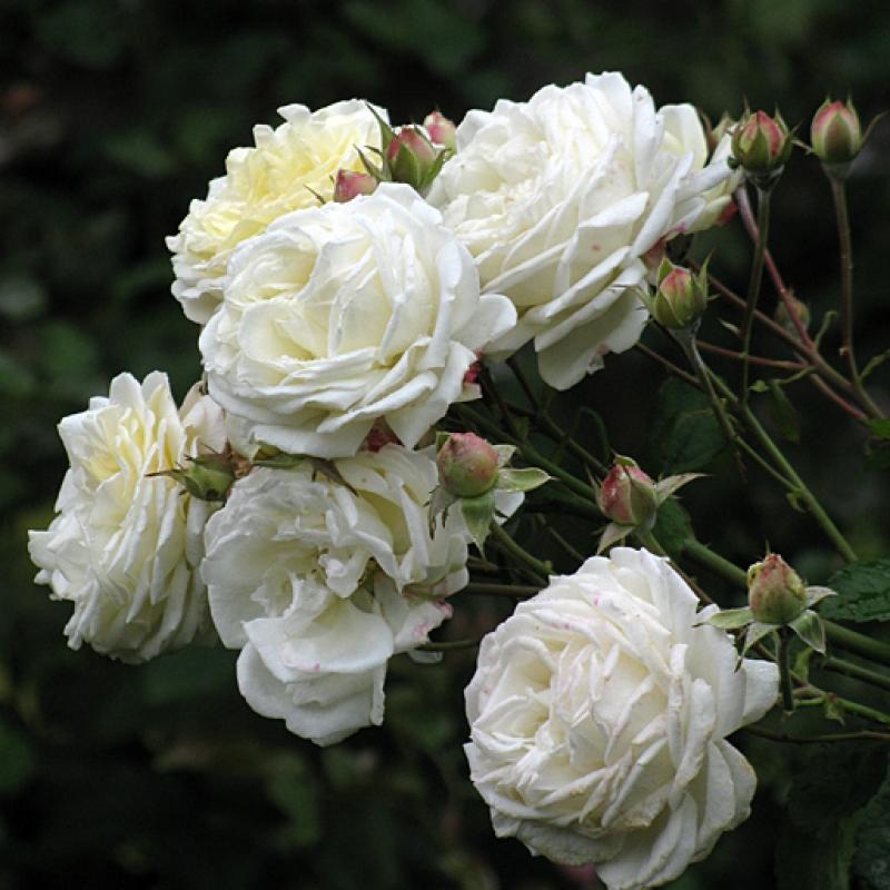 Розы Мануел Кановас