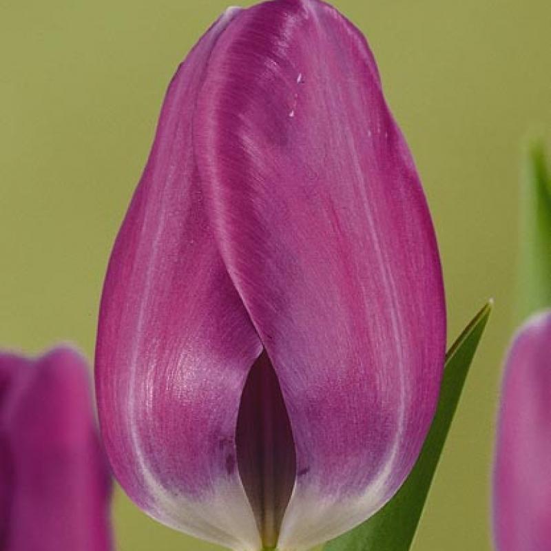 Тюльпаны Арло
