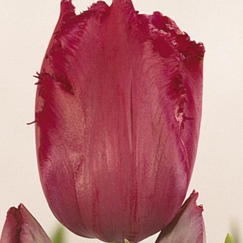Тюльпаны Исис