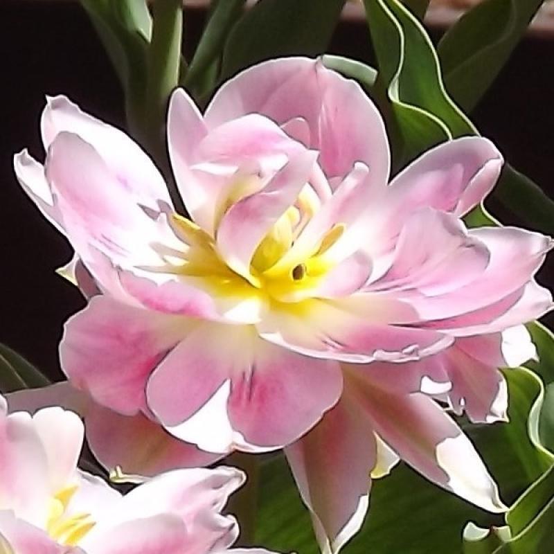 Тюльпаны Таилле