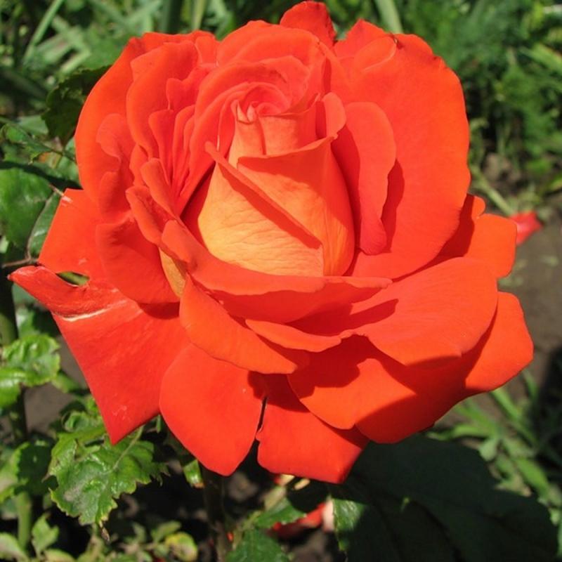 Розы Верано