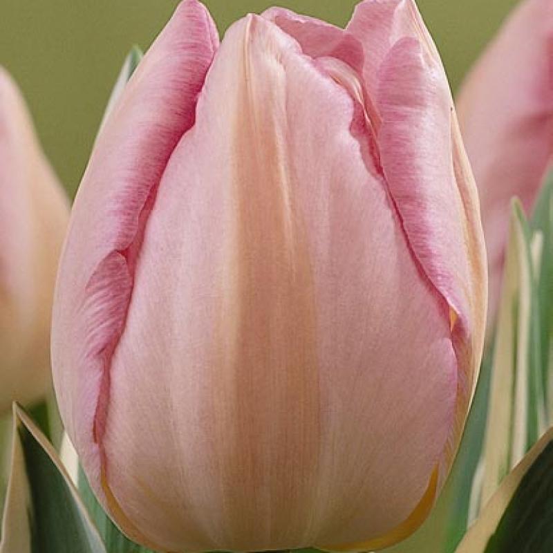 Тюльпаны Ниигата