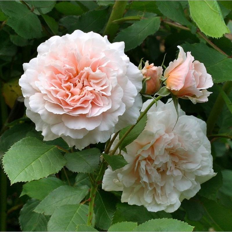 Розы Бредон