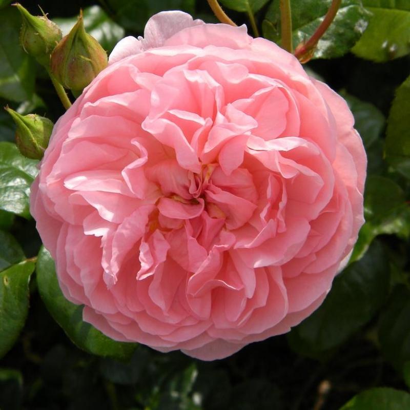 Розы Строуберри Хилл