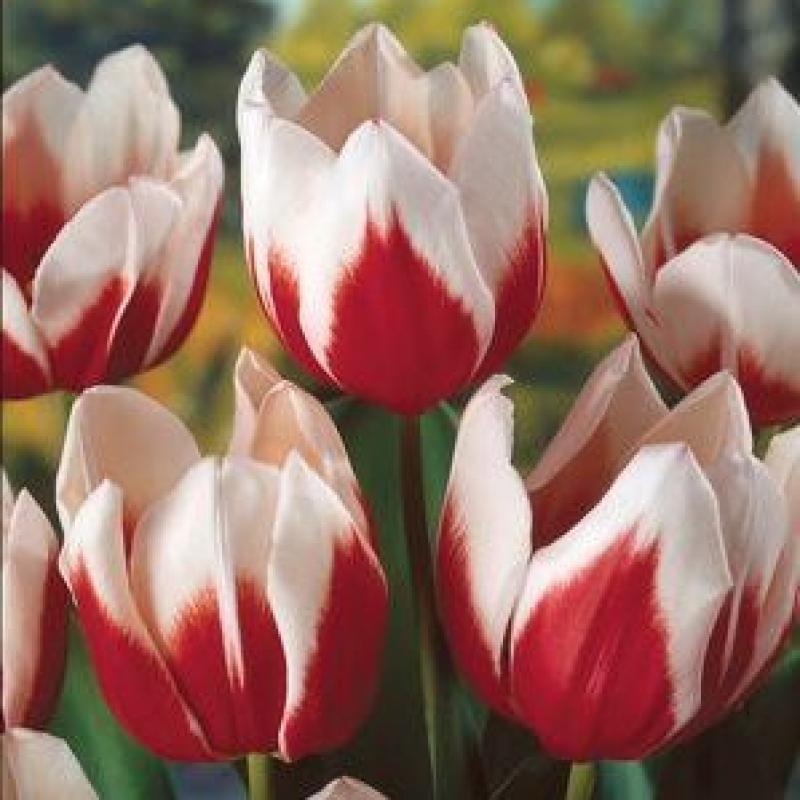 Тюльпаны Фулл Хауз