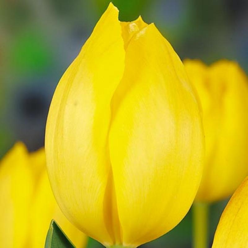 Тюльпаны Сансет Булевар