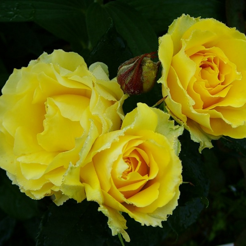 Розы Буттеркап