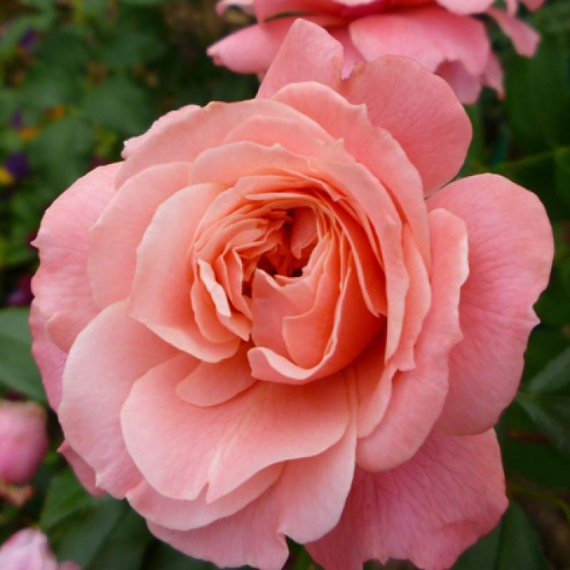 Розы Боттичелли