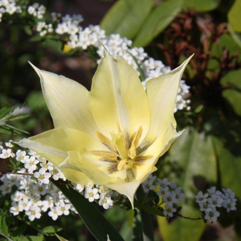 Тюльпаны Саппоро
