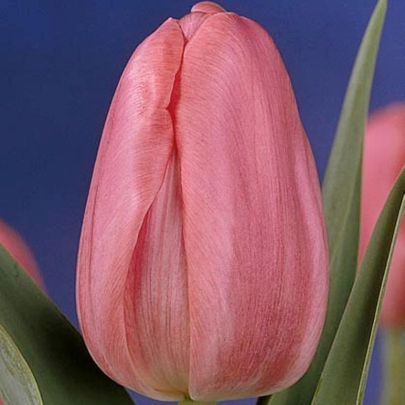Тюльпаны Роса Листо