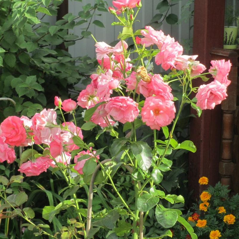 Розы Лагуна