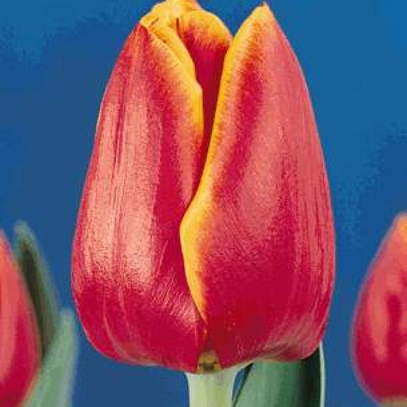 Тюльпаны Маргот Фонтейн