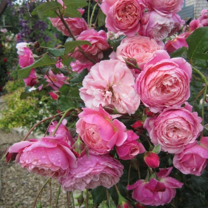 Розы Прикс П.Ж. Редут