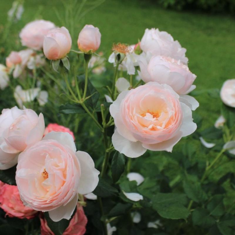 Розы Херитаж