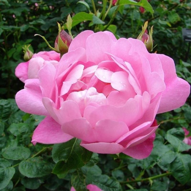 Розы Корведэйл