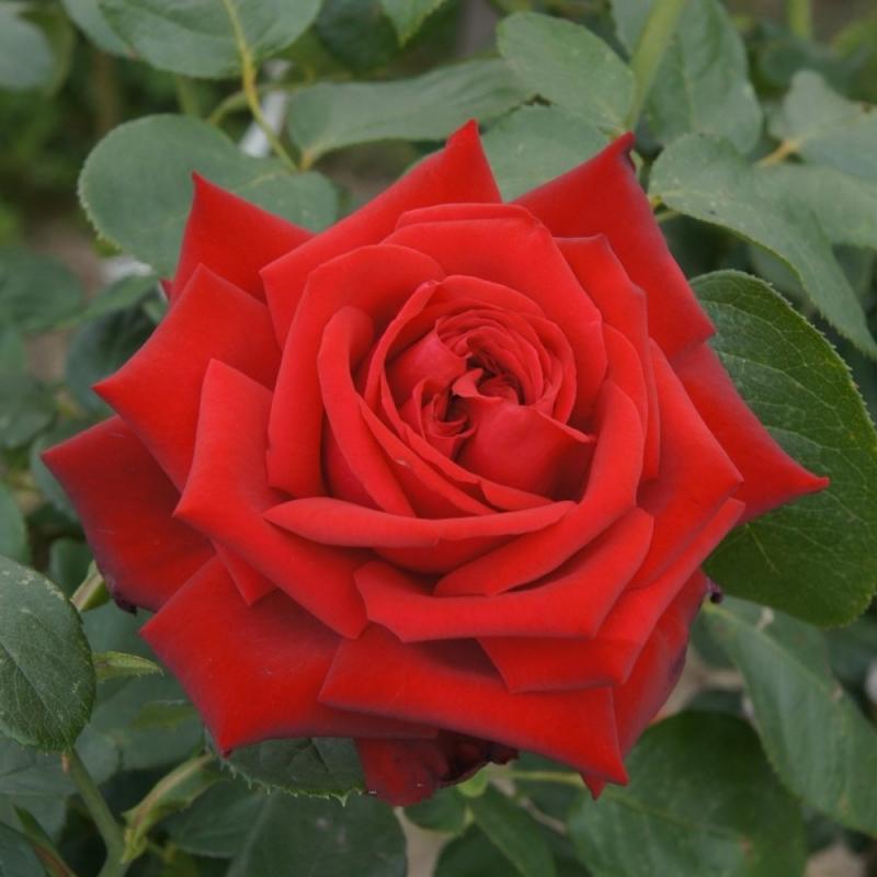 Розы Прайд оф Инглэнд